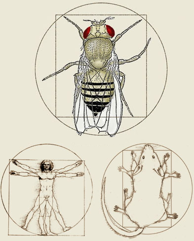 Vitruvian species image